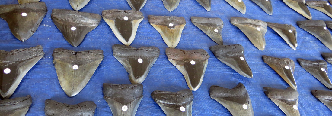 venice fl shark tooth - photo#30