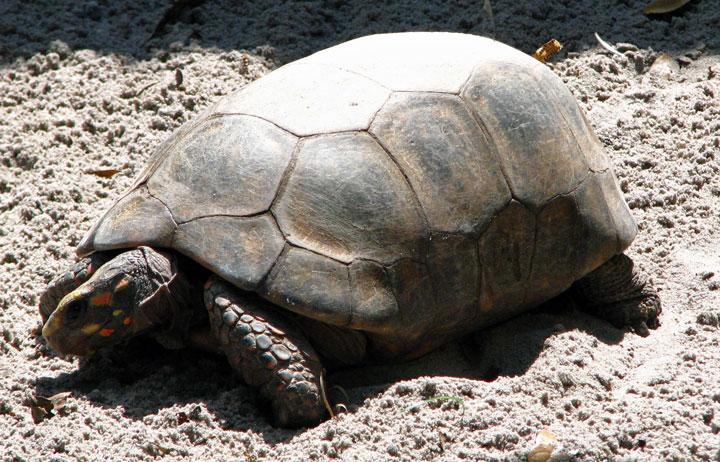 Gopher tortoise Florida